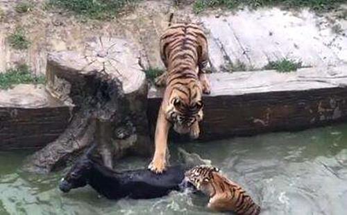 江苏一动物园被曝用活驴投喂老虎