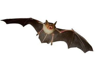 你也会经常看到它们张着嘴巴飞行,来保持声音的反射.
