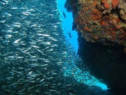 鲱鱼.jpg