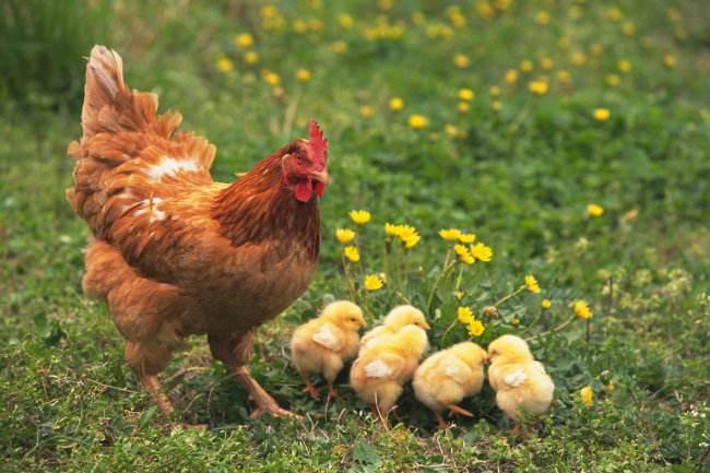 鸡.jpg