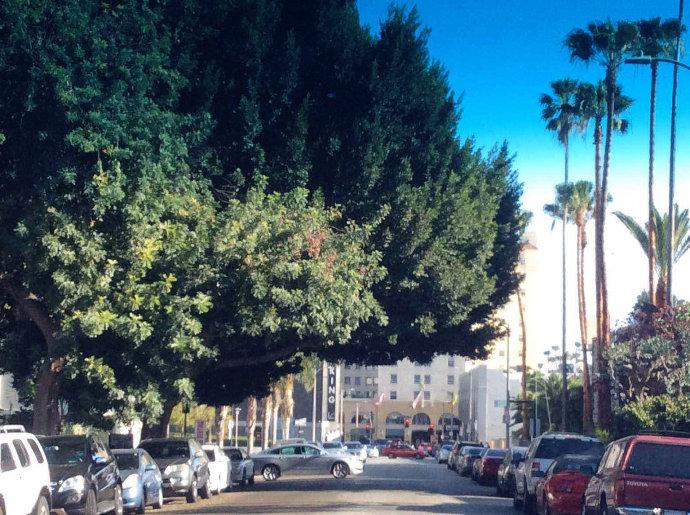 洛杉矶树木.jpg