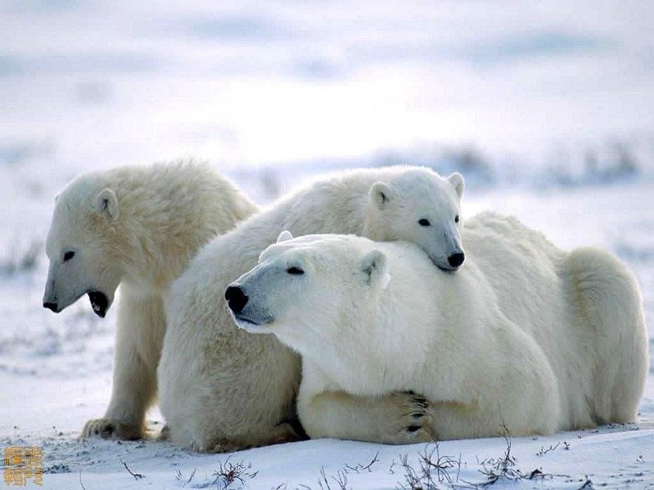 北极熊1.jpg