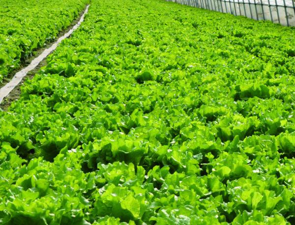 蔬菜的全年生产