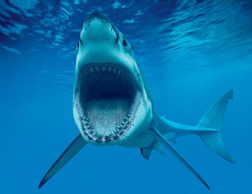 大白鲨的呼吸方式