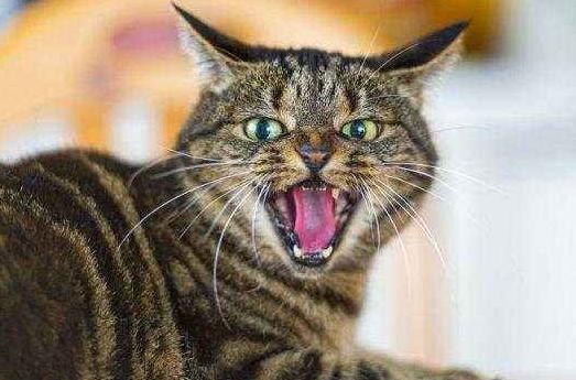 喵喵叫不是猫的自然行为