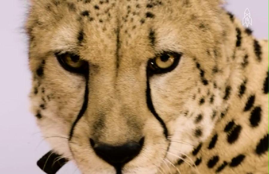 栖地的丧失,偷猎,食物短缺都在威胁着这些漂亮的猫科动物的生命 this