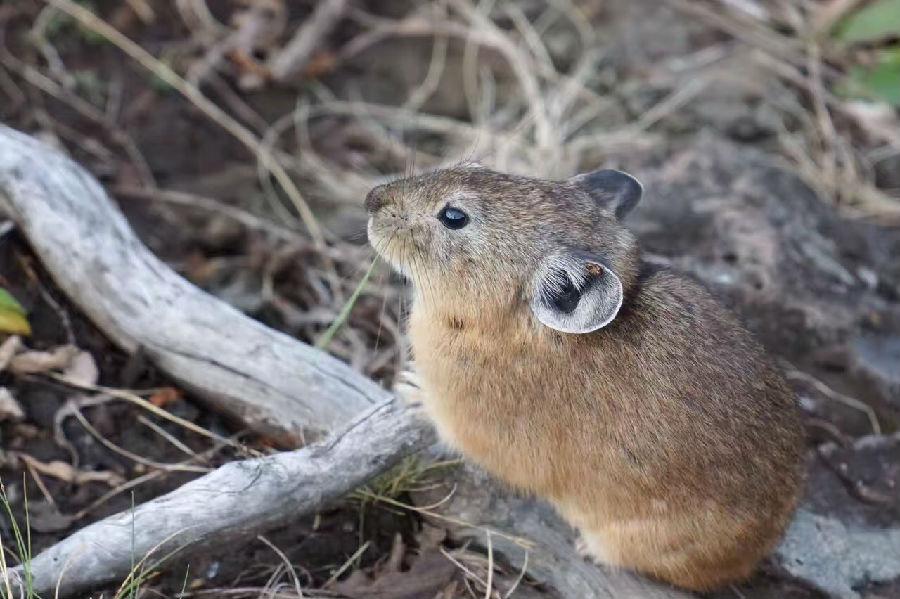 鼠兔.jpg