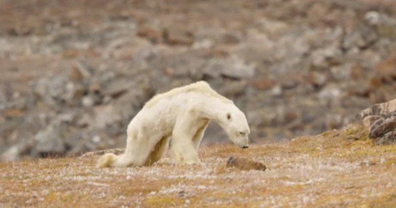 饥饿北极熊觅食视频走红网络