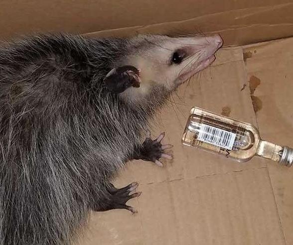 负鼠偷喝掉威士忌醉倒货架上 店员哭笑不得