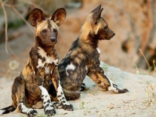 非洲野狗.jpg
