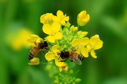蜜蜂保护庄稼免受野象摧残.jpg
