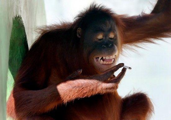 红毛猩猩吸烟视频走红.jpg
