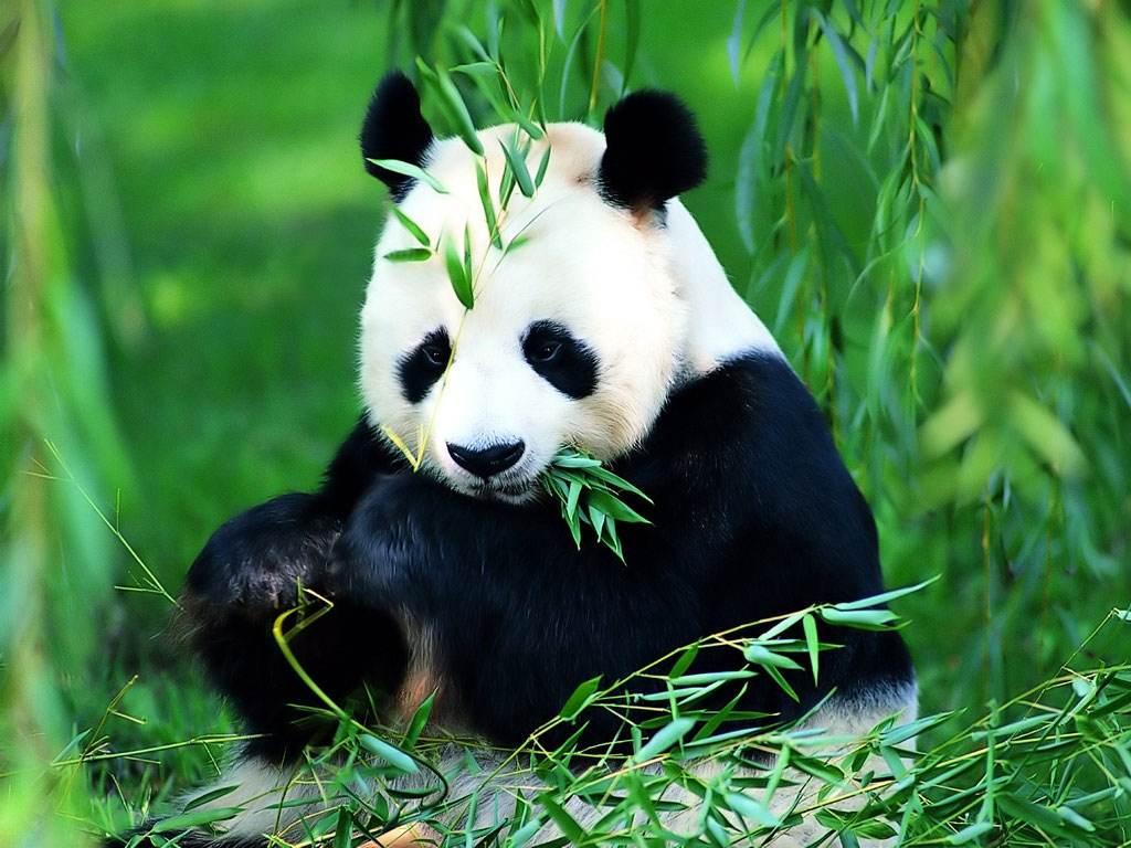 中国将斥资打造大熊猫国家公园.jpg