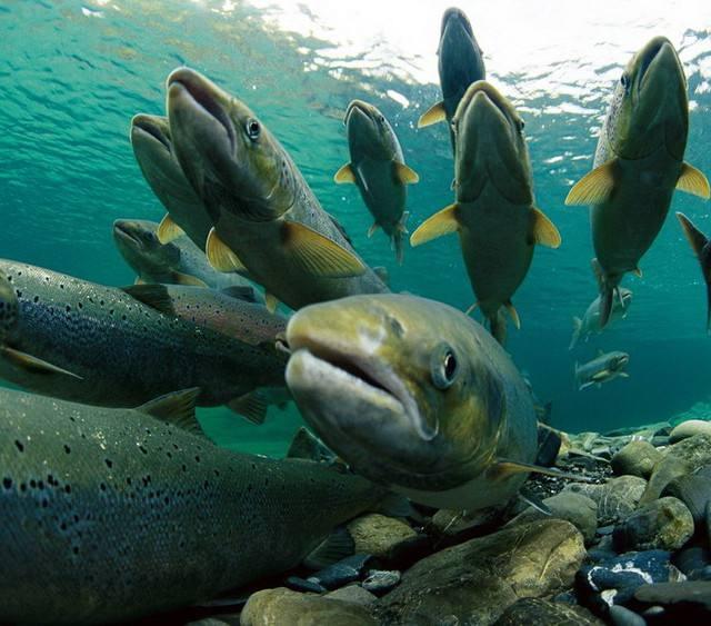 鲑鱼.jpg