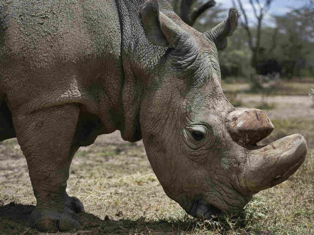 世界最后一只雄性白犀牛死亡
