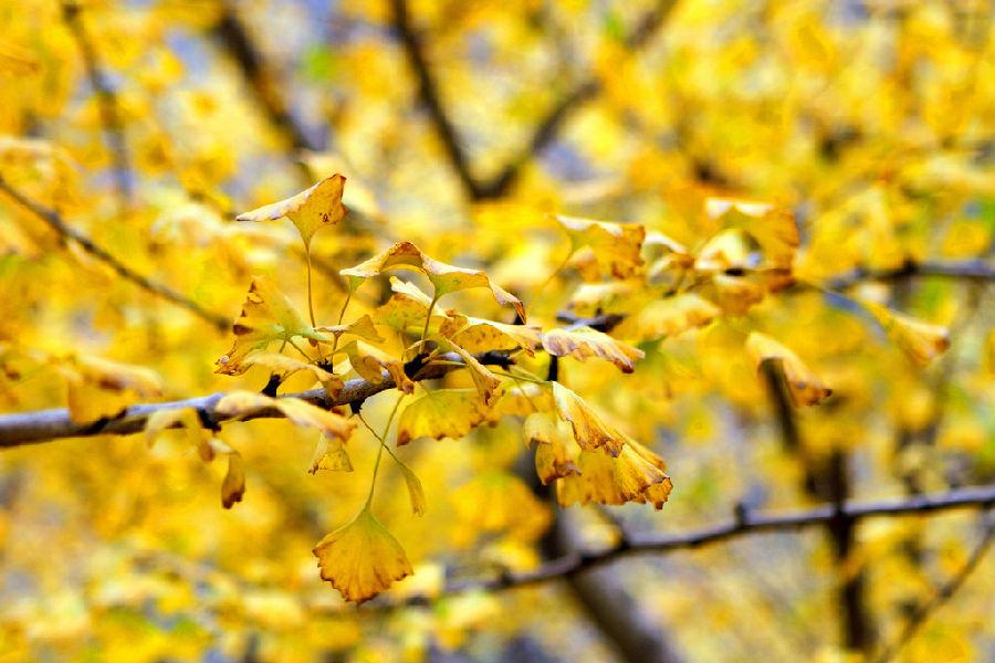 金黄的秋叶