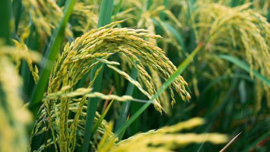 温室气体导致粮食营养降低.jpg