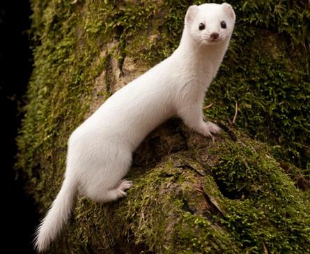 气候变暖 白毛动物恐将灭绝