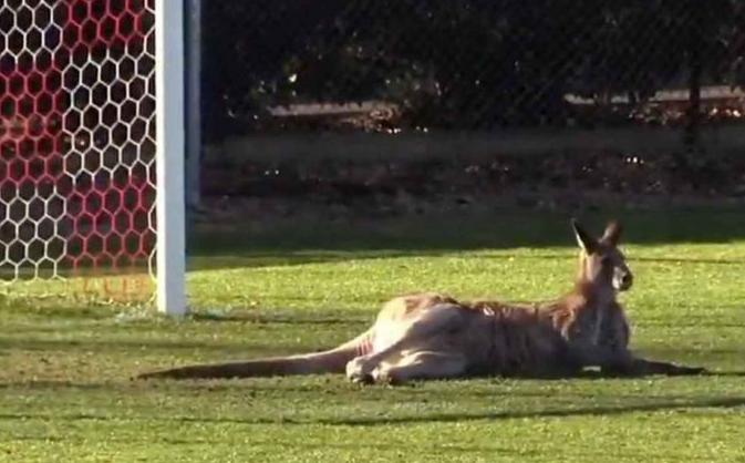 澳洲袋鼠乱入女子足球赛 上场当上'守门员'