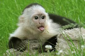 巴拿马猴子可能已经开始了他们自己的石器时代