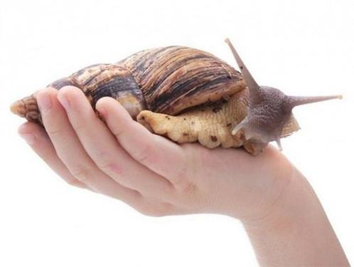 非洲大蜗牛其实是害虫