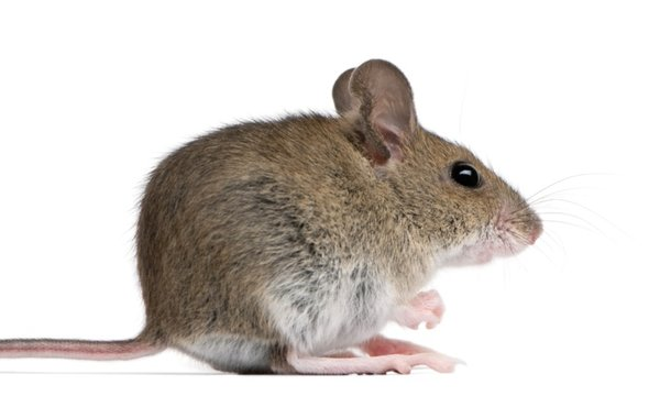 纽约小老鼠.jpg
