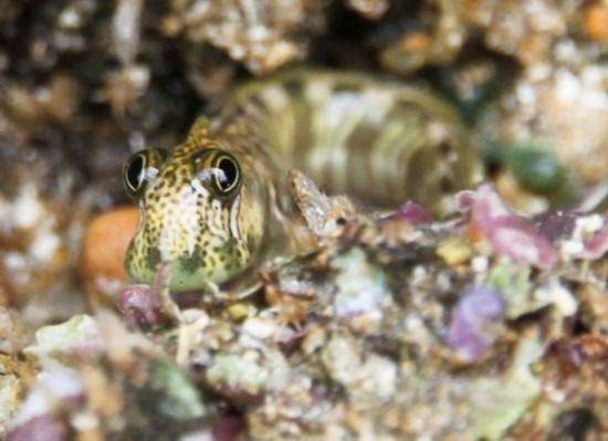 梅森恰尼海鳃属