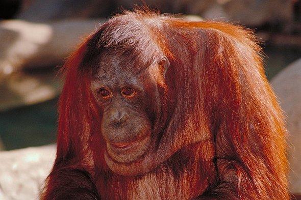 红毛猩猩.jpg