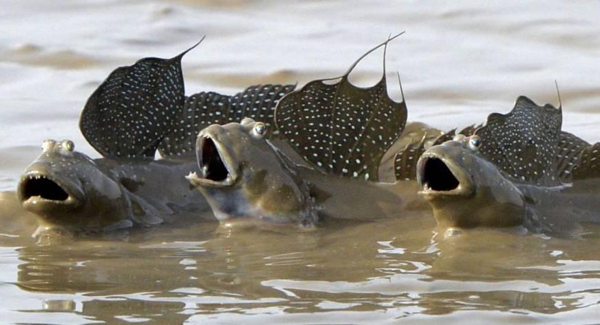 the modern mudskippers