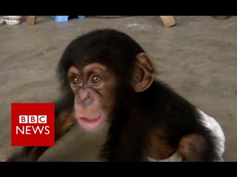 BBC帮助破获尼泊尔黑猩猩走私案