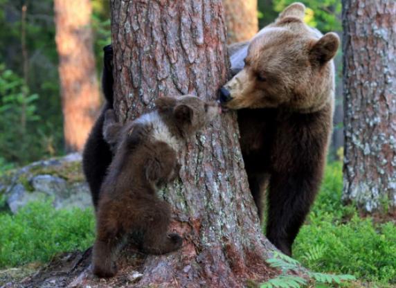 芬兰熊妈带娃躲猫猫 隔树干献吻宝宝甜化了