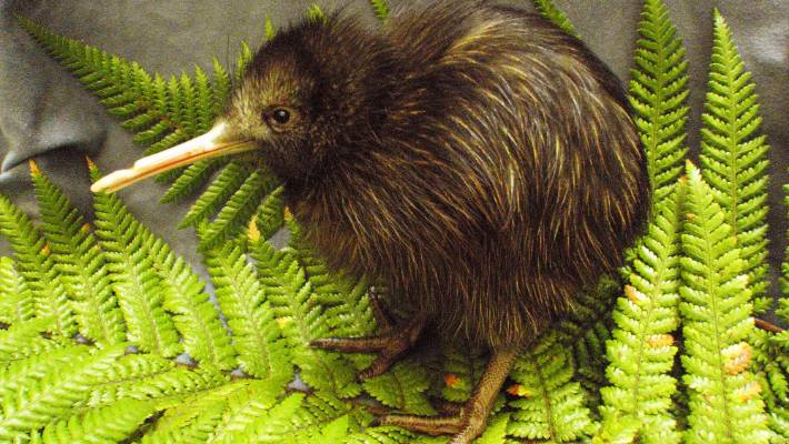 Kiwi不是歧视性词汇.jpg