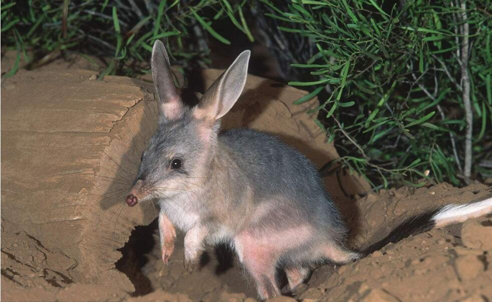 兔耳袋狸一个多世纪后首次重返野外.jpg
