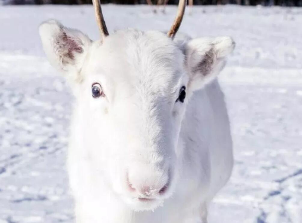 罕见白色驯鹿现身挪威.jpg