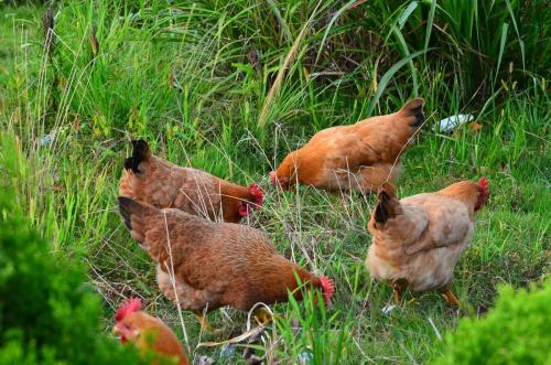 如何喂食能提高鸡肉品质?.jpg