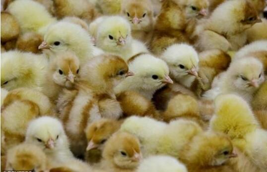 """科学家培育出抗禽流感转基因""""超级鸡"""".jpg"""