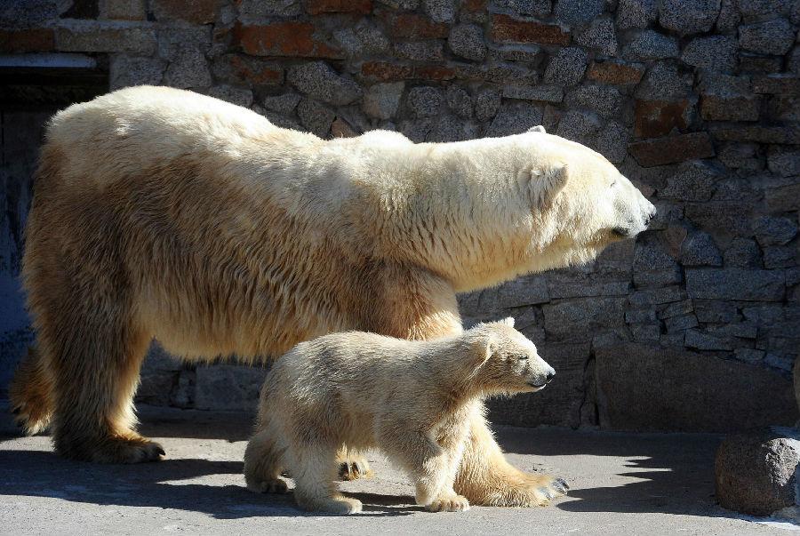 北极熊入侵俄罗斯小镇.jpg