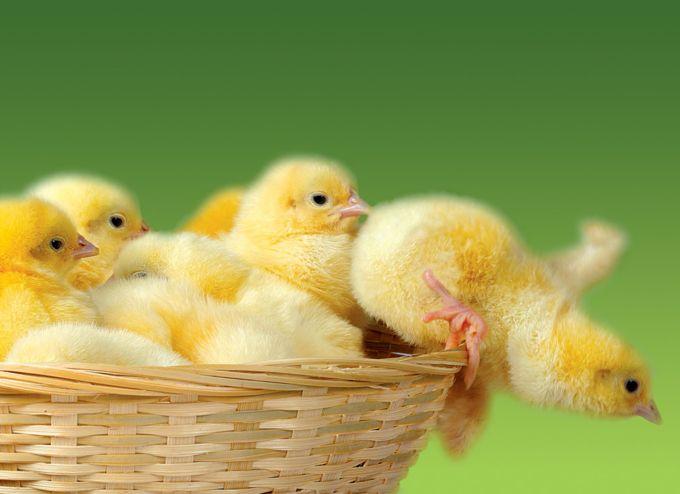 小鸡.jpg