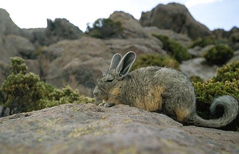 这些睡眼惺忪的食草动物在阿塔卡马沙漠过着幸福的生活,他们居住在