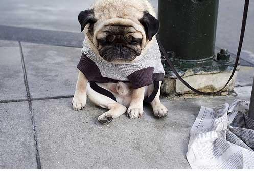 被誉为世界上最忧伤的狗.这只宠 看上去很伤心.   一只被遗弃的哈