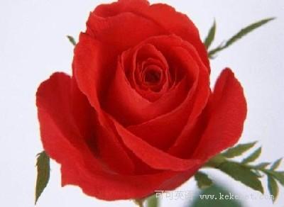 玫瑰花丝巾系法图片展示