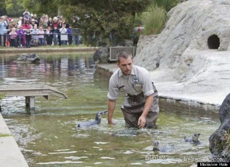 人与自然:旧金山动物园的小企鹅们毕业了